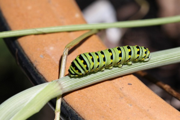 Black Swallowtail Caterpillar  crawling up the dill plant
