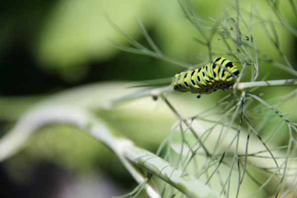 Black Swallowtail Caterpillar eating Dill