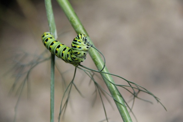 Black Swallowtail Caterpillar, eating all of the Dill plants