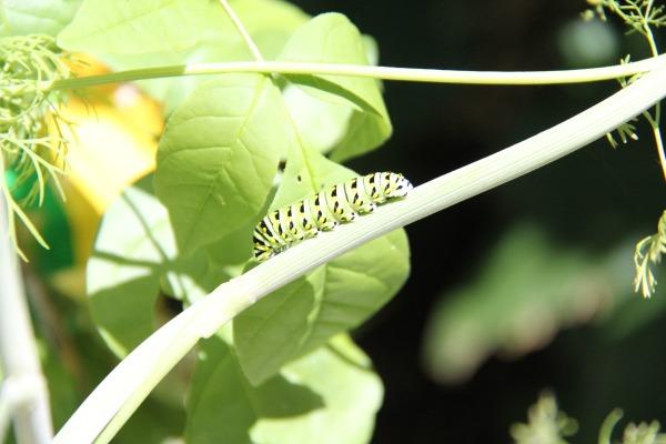 Black Swallowtail Caterpillar when we first found him