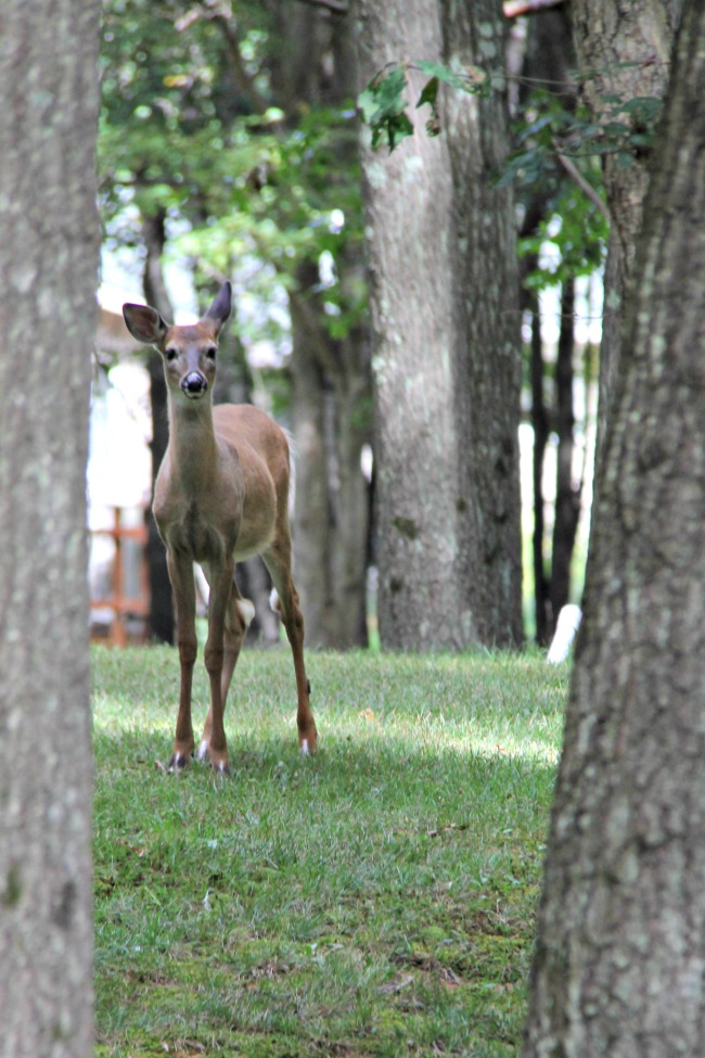 photo-of-a-deer-in-back-yard