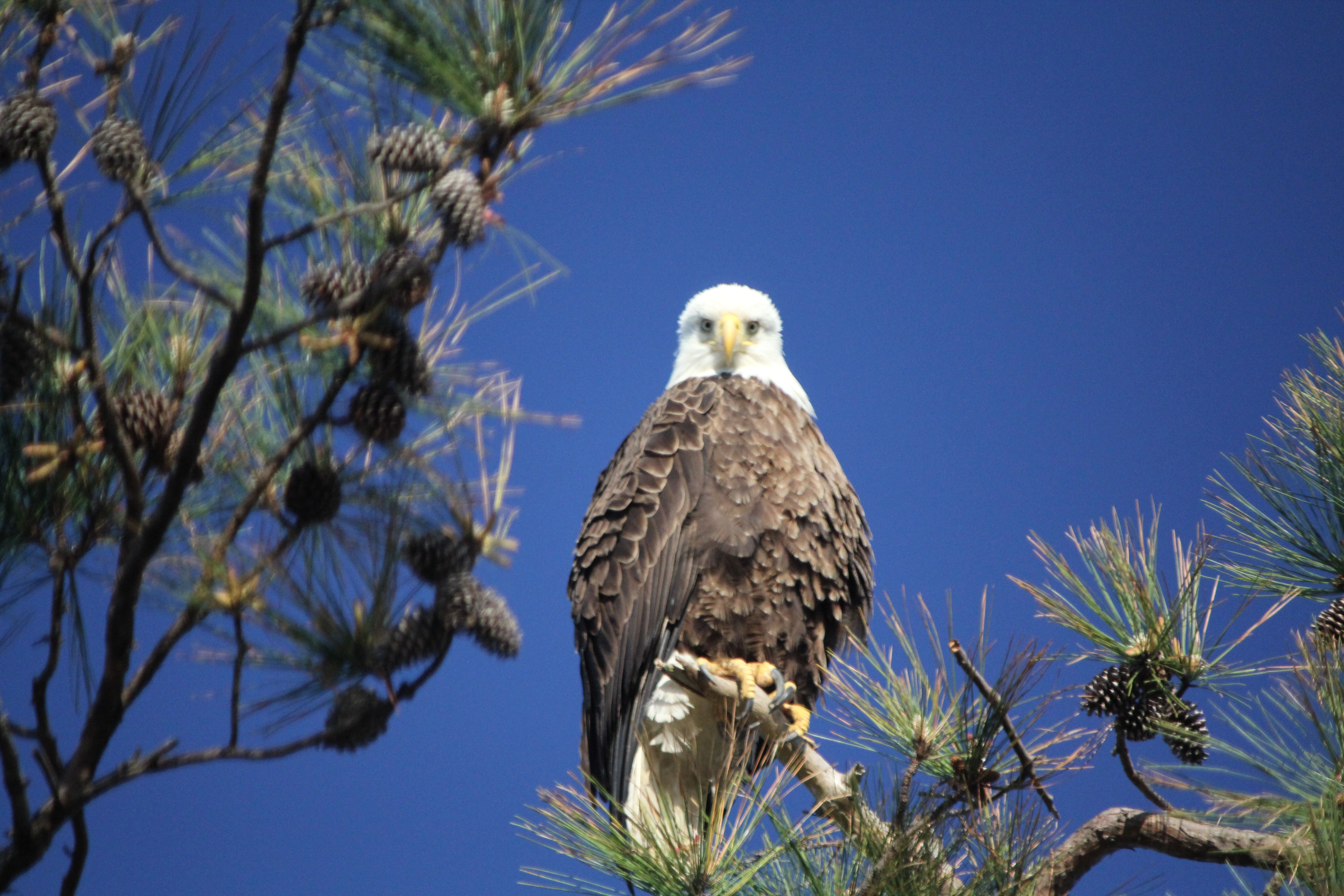 Bald eagle up close and personal at Blackwater National Wildlife refuge