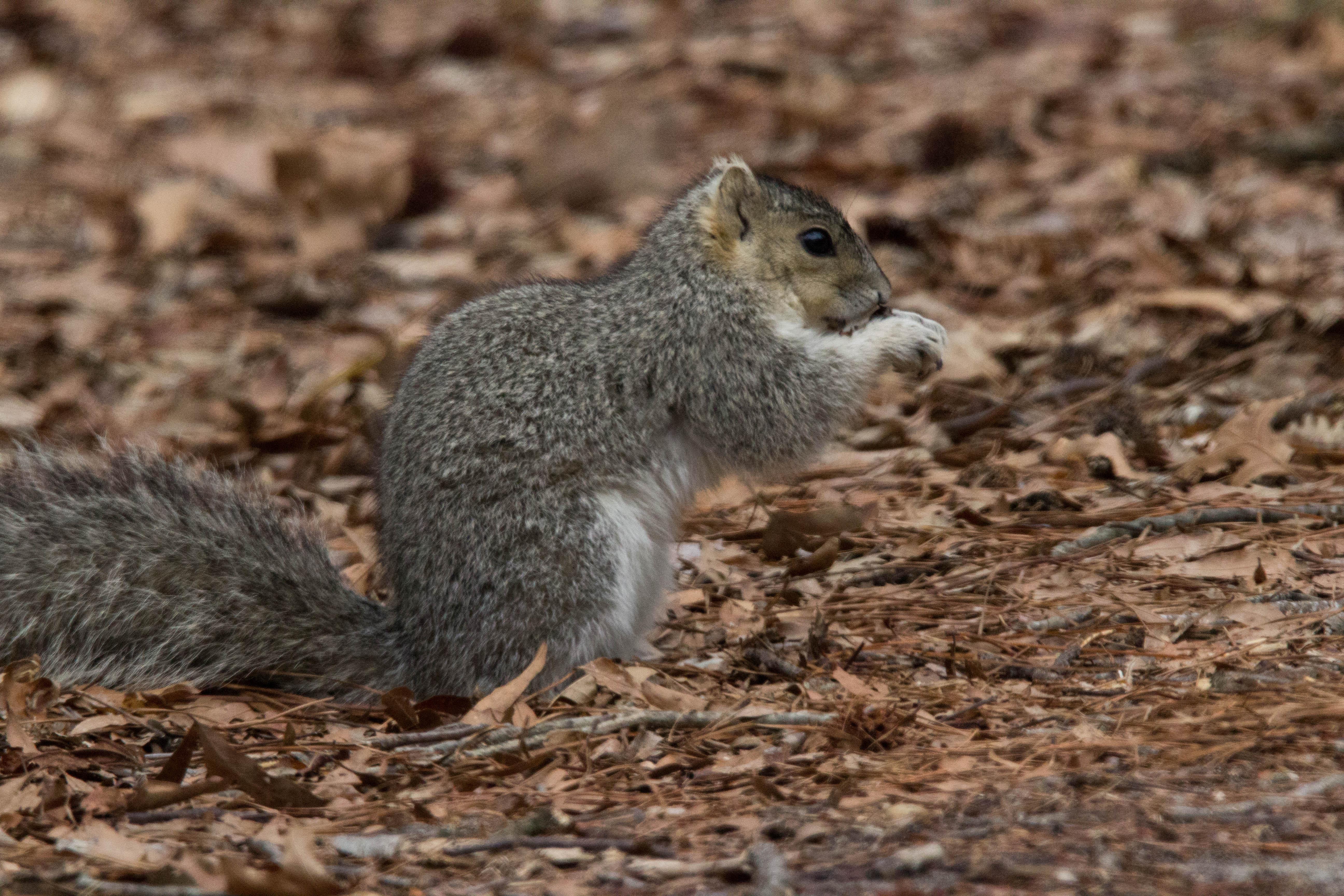 Delmarva peninsula fox squirrel at Blackwater National Wildlife refuge