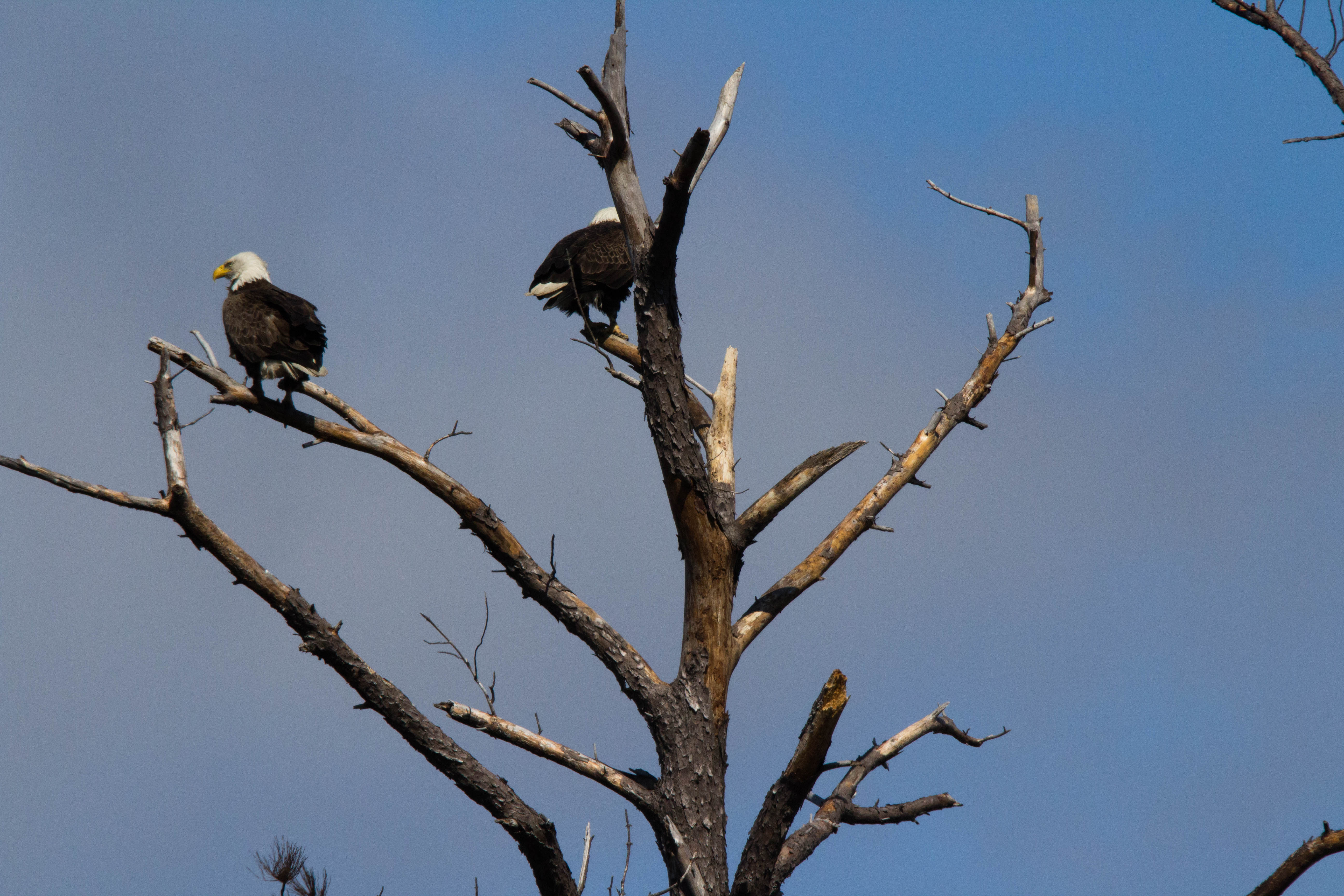 Eagle pair sitting on a tree at Blackwater National Wildlife refuge