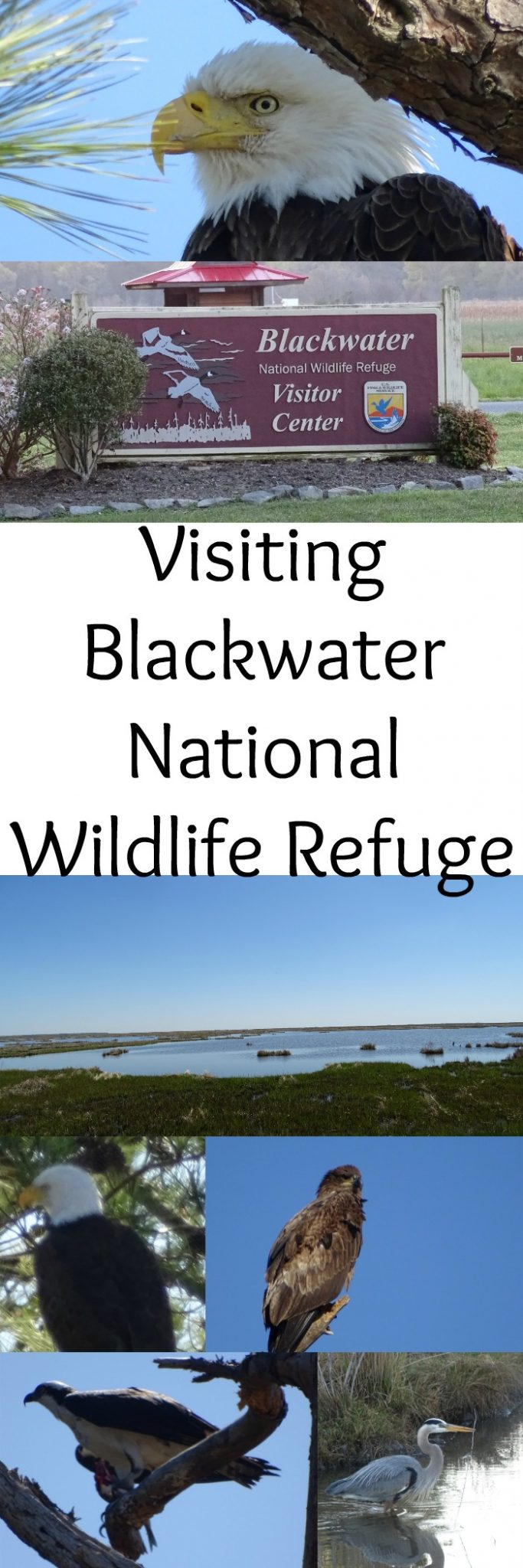 Visiting Blackwater National Wildlife Refuge is a great place to see bald eagles, herons, egrets and other animals.