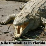 Nile Crocodiles in Florida: What You Need to Know