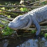 Why You Need to Visit Gatorland in Florida