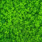 clovers for St. patrick's Day